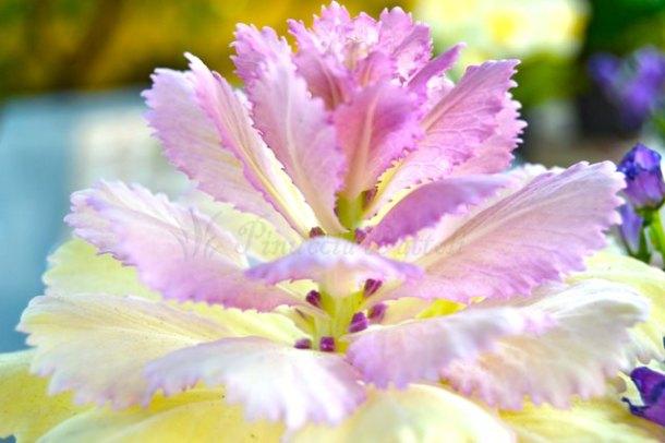 fiore di cavolo-