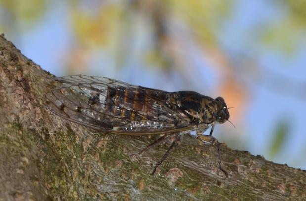 Cicala sull'albero di acacia