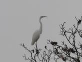 Airone bianco su albero  giornata nebbiosa